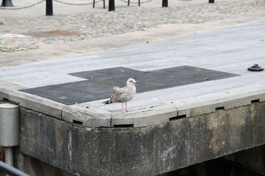 """... und natürlich dürfen auch die """"Seagulls"""" (Möwen) hier nicht fehlen - dieses arme Riesenküken hat lauthals nach seiner Mama gerufen  :-o ..."""