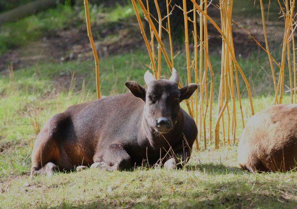 Anoas sind eine kleine asiatische Büffelart.