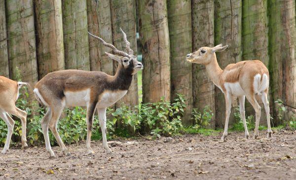 Blackbuck od Hirschziegen= antilope