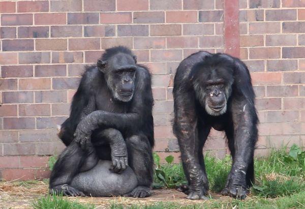 Chimpanzee Cleo & Nicky