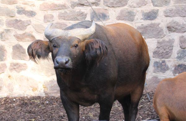 der Kaffern- oder Kongobüffel;