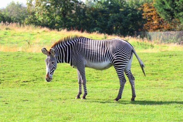 Grevy´s Zebra od Grevyzebra1