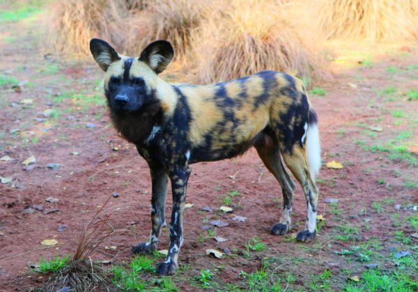 der afrikanische Wildhund ...