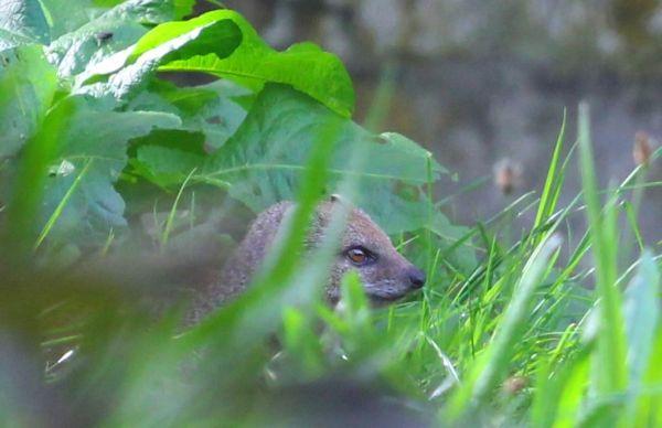 Leider waren ihre großen Verwandten, die Mungos, etwas schüchterner :-(