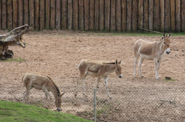 Onager1