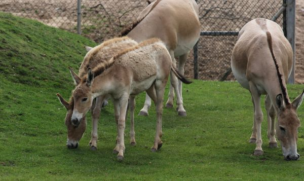 Onager2