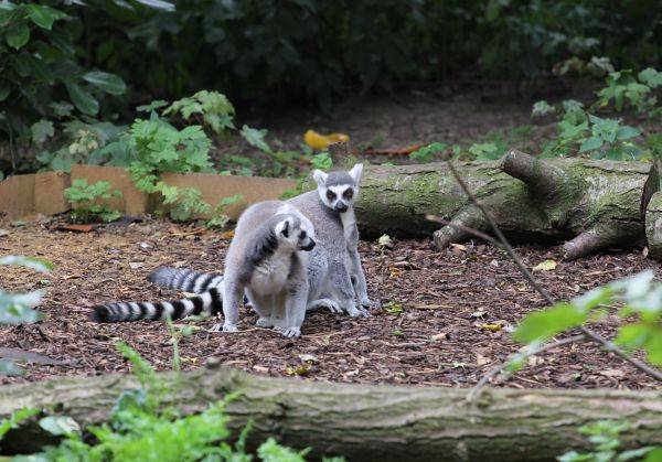 Ring-tailed Lemur od Katta