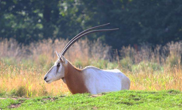 Scimitar Horned Oryx od Säbelantilope