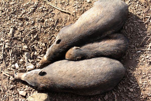 Philippine Warty Pig od Philipinisches Pustelschwein