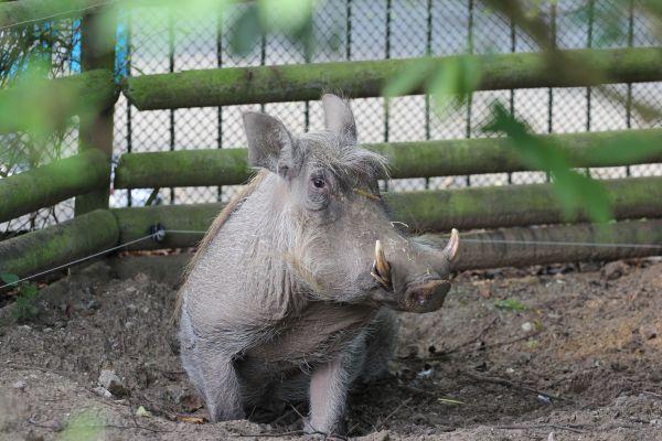 Warthog (2)